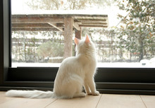 On A Snowy Day, White House Cat Watching Outdoors.