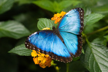 Blue Morpho Butterfly In Costa...
