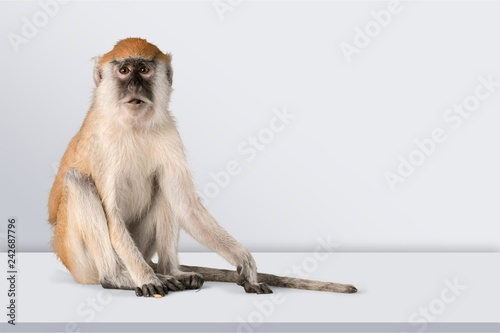 Foto op Aluminium Aap Cute Monkey animal Isolated over white background