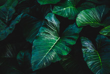 Tropical Elephant Ear Leave Background In Dark Tone