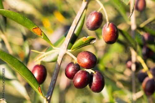 Photo sur Aluminium Oliviers Dark olives tree detail