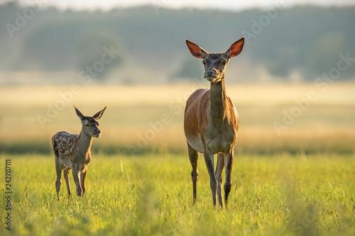 Fotografia, Obraz  Red deer hind with calf walking at sunset