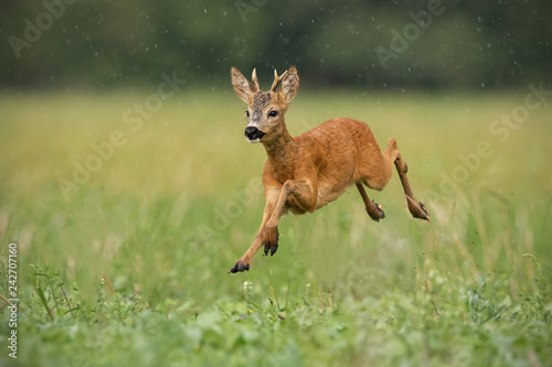Young roe deer, capreolus capreolus, buck running fast in the summer rain. Dynamic image of wild animal jumping in the air between water drops. Wildlife scenery from nature in summer.
