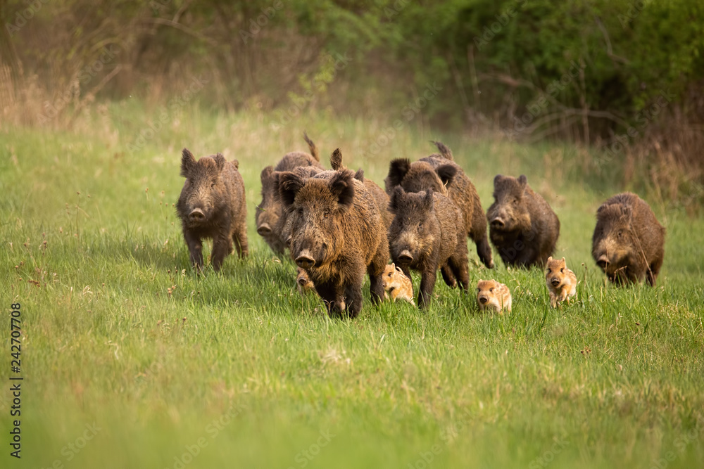 Fototapeta Group of wild boars, sus scrofa, running in spring nature. Action wildlife scenery of a family with small piglets moving fast forward to escape from danger.