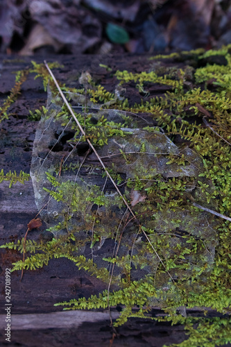 Fotografija  Leaf skeleton on wooden mossy log, close-up