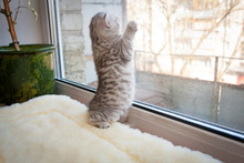 A Small Gray White Striped British Kitten Stood On Its Hind Legs On The Windowsill And Looks Out The Window