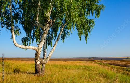 Naklejka premium Lato krajobraz z samotnym narastającym brzozy drzewem