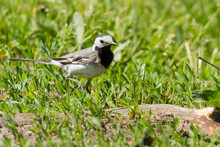 Pied Wagtail On Sand