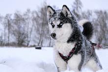 Breed Husky Sled Dogs