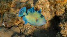 Blue Triggerfish - Pseudobalistes Fuscus, Egypt