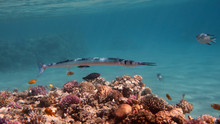 Needlefish (Houndfish) - Tylosurus Crocodilus, Red Sea