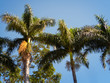 Coconut Palm tree with blue sky,retro and vintage tone