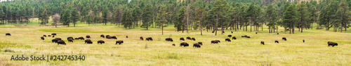 Cadres-photo bureau Bison Bison-Buffalo Grazing in September Grass Background