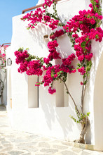 Red Bougainvillea On A White Wall In Greece