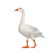 Walking White Goose