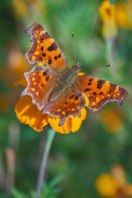 Polygonia Interrogationis, The...