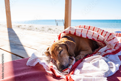 Funny small dog sleeps under a blanket, lying on the bungalow