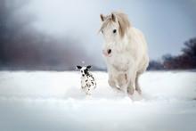 Dalmatian Dog And White Horse...