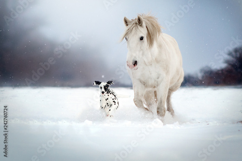 Tablou Canvas Dalmatian dog and white horse best friends beautiful winter portrait magic look