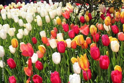 Photo  tulip festival