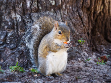 Grey Squirrel Eating Yellow M&M Candy