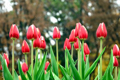 Foto auf Leinwand Tulpen The pink tulip in the garden.