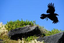 A Black Bird, The Australian Raven, Corvus Coronoides, Taking Flight With Blue Sky Background, Port Fairy Victoria Australia