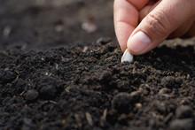 Hand Planting Pumpkin Seed In ...