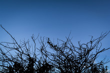Silhouette Branch Sunrise Acacia Branches Thorn Tree Bush With Sunrise Cloud Blue Sky Twilight Background