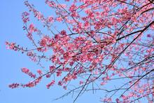 Wild Himalayan Cherry Blooming Sakura Flower Phu Lom Lo Loei And Phitsanulok Of Thailand