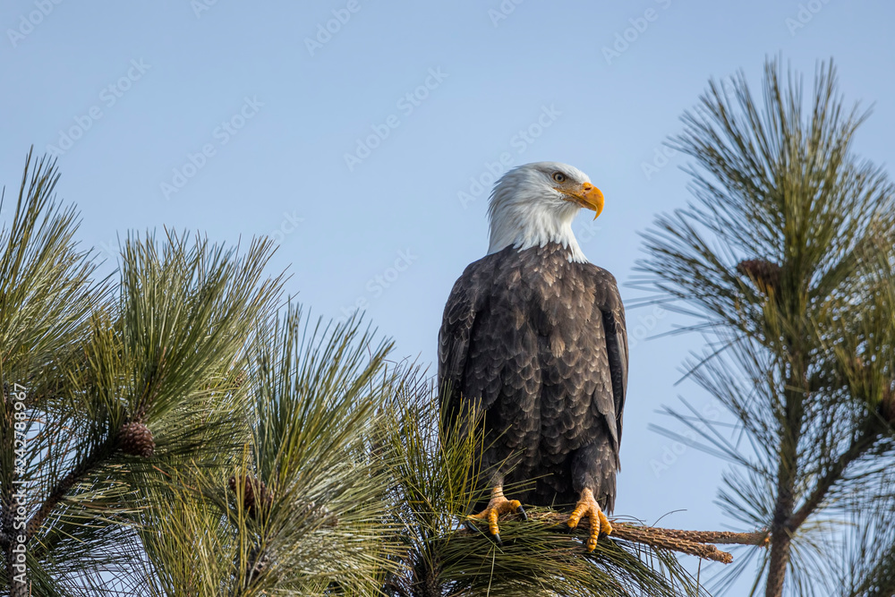 Majestic bald eagle on branch.