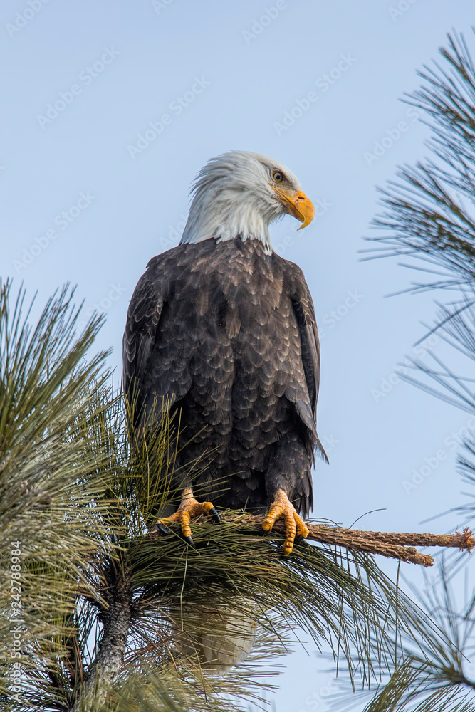 Perched eagle in tree.