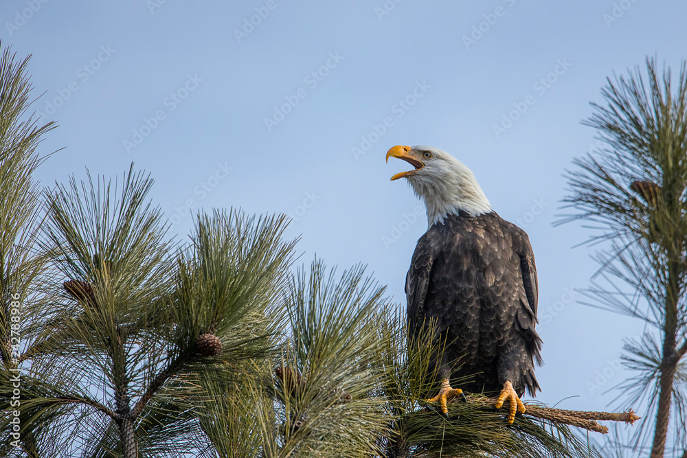 Eagle calling to another one.