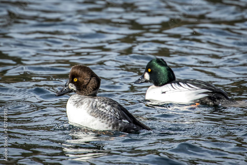 Male and female barrows goldeneye.