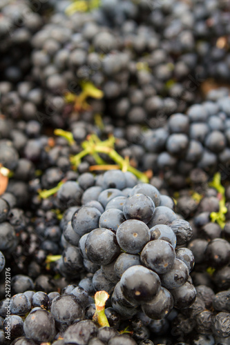 Fotografie, Obraz  Packed Sweetness - Red wine grape clusters collected for crush (harvest)