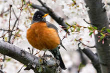 American Robin With One Leg Standing In A Flowering Tree