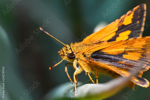 Fotografie, Obraz  Orange butterfly on plant butterfly in the garden Macro insect branch with natur