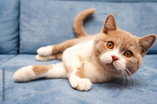 A cute British lilac white bicolour cat is lying on a blue sofa and looking stra Canvas Print