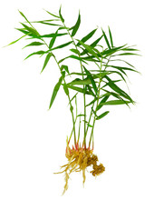 Full Ginger Plant With Leaves, Roots And Rhizome Isolated On White Background