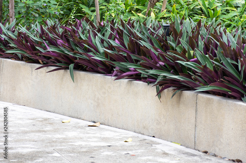 Photo  Beautiful purple flowers along the walkway built with cement