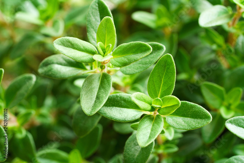 Fotografía  close up of fresh thyme leaves