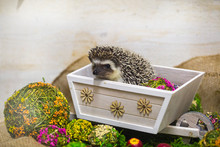 Hedgehog In Bright Decorations...