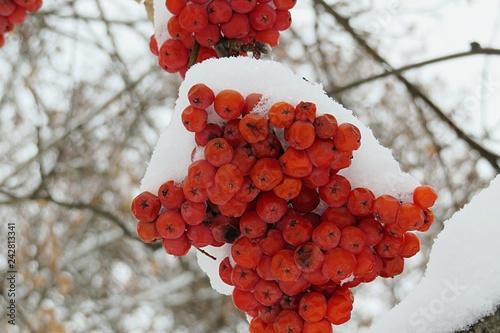 Fotografie, Obraz  Rowan berries in the snow