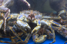 Aquarium's Snow Crab