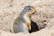 A Columbian Ground Squirrel On...