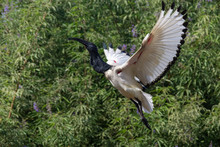 Sacred Ibis Takes Off Showing Beautiful White Wings And Green Plant Background.