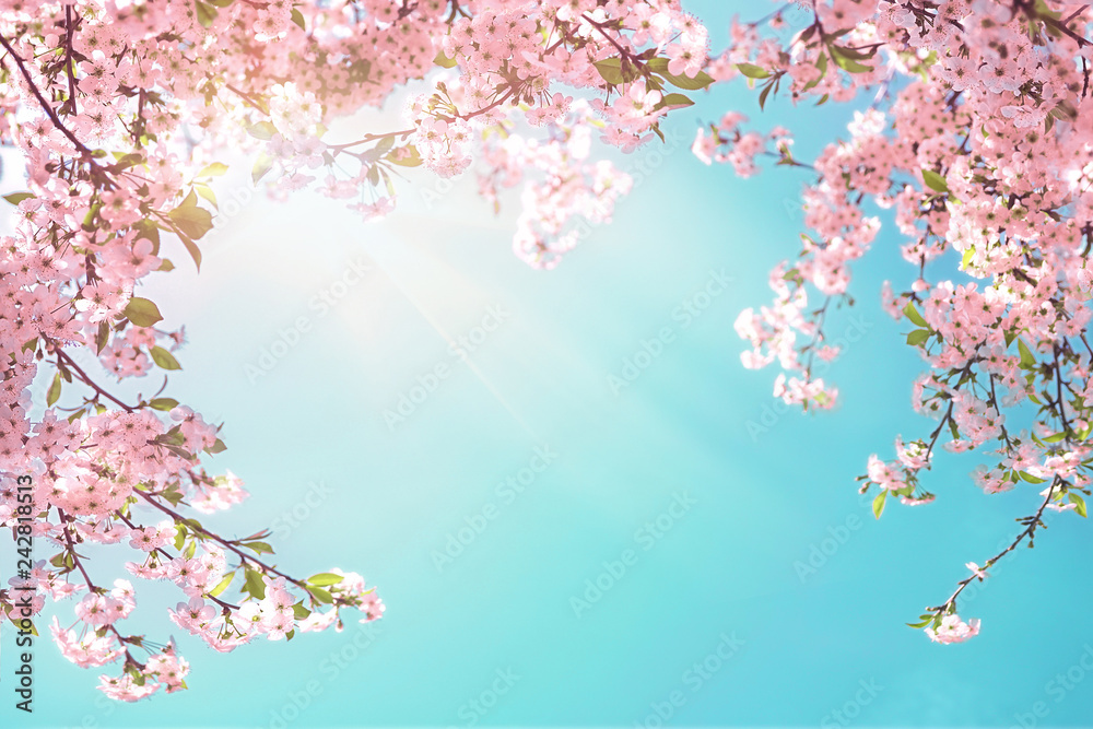 Fototapeta Frame of branches of blossoming cherry against background of blue sky and fluttering butterflies in spring on nature outdoors. Pink sakura flowers soft focus, dreamy romantic  image of spring nature.