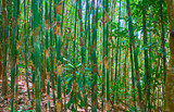 In bamboo thicket, Myanmar