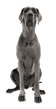 Great Dane Sitting In White Studio Floor