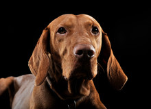 Hungarian Vizsla Portrait In B...